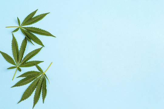 Fresh leaves of hemp on a blue background.