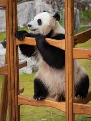 The giant panda (Ailuropoda melanoleuca)