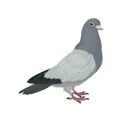 Grey urban pigeon, side view vector Illustrations on a white background