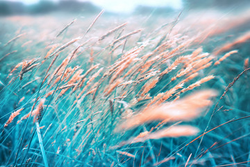 Wall Mural - Wild field meadow blossoming grass on nature on wind, defocused, macro close-up. Abstract grass background. Beautiful  ecology nature landscape toned in vintage blue colors.
