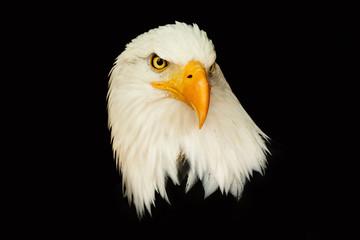 Portrait american eagle on the black background (Haliaeetus leucocephalus)