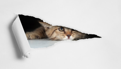 Papier Peint - Funny cat looking through hole in paper isolated