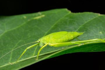 Green Grasshopper Macro