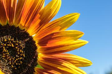 Sonnenblume unter klarem Himmel