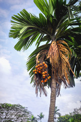 ripe fruit of a date palm