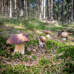 Group of edible mushroom boletus edulis