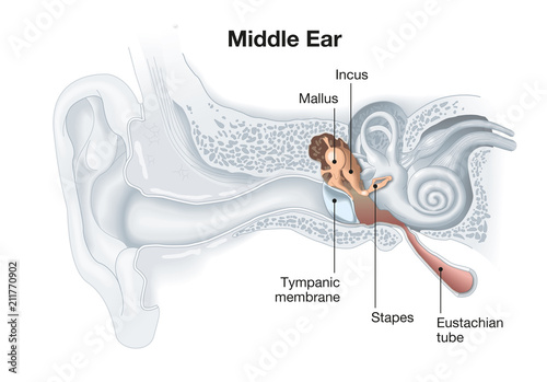 Middle Ear Anatomy Medical Illustration Stock Photo And Royalty