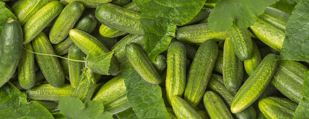 cucumbers close up in the detail - harvest