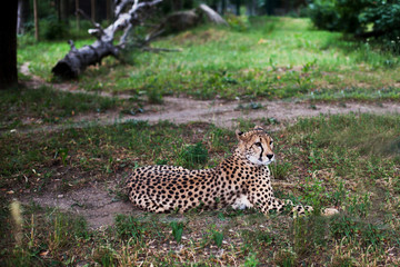 Beautiful Cheetah , Acinonyx jubatus lying down on green grass and looking at camera. vigilant gepard closeup. Photograph taken in the zoo.