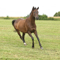 Fototapete - Amazing brown horse running alone