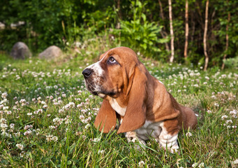 Basset hound puppy sits  in a clearing in the green grass in the clover flowers