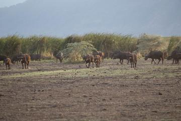 Buffle safari tanzanie