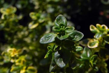 Lemon Thym Plant Leaves - Macro