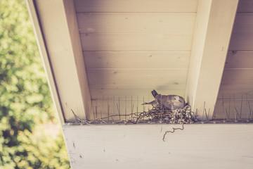 Taube brütet Eier in Nest, Taubenschutz