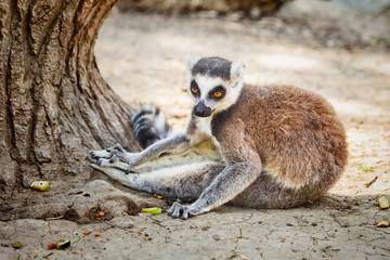 Ring-tailed Lemur 'Lemur Catta' in safari-park