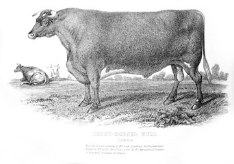 An engraved illustration of Short Horned Bull from a vintage book Encyclopaedia Britannica by A. and C. Black, vol. 2, of 1875.