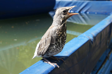 the baby bird of a starling