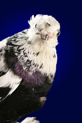 Dove studio shooting on a dark blue background.