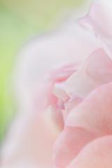 バラの花アップ横アングル