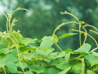 Climbing plants with blur background