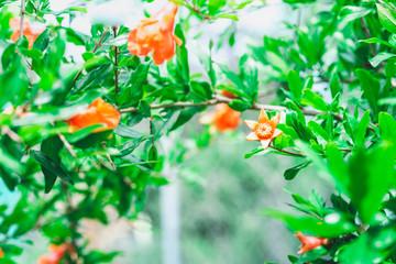 orange pomegranate blossoms amid foliage