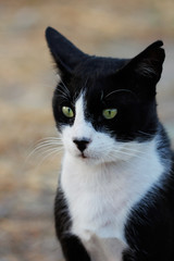 Feral black-white cat in the countryside