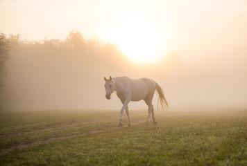 Fototapeta Horse at dawn in the fog