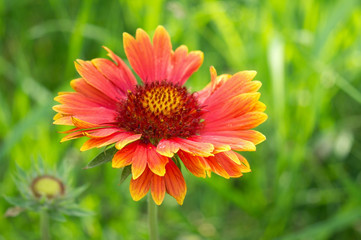 Blooming Gaillardia flowers, asters family. Flowering of chamomile Gerbera for nature background.