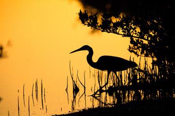 The western reef heron in the mid of mangrove