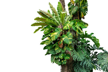 Wall Mural - Rainforest tree trunk with tropical foliage plants, Monstera, golden pothos vines ivy, bird's nest fern, and orchid leaves isolated on white background with clipping path, rich biodiversity in nature.