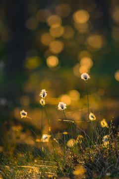 Summer evening light colored tussock cottongrass