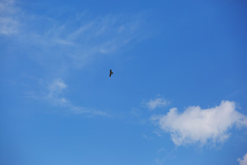 Black Kite against the beautiful sky, in search of food over the river.