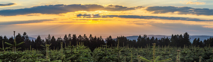 Sunset over Christmas tree plantation and spruce forest in the middle of Germany in a low mountain rage called Rothaargebirge, panorama.