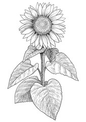 Sunflower illustration, drawing, engraving, ink, line art, vector