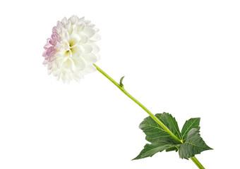 White dahlia flower isolated on white background
