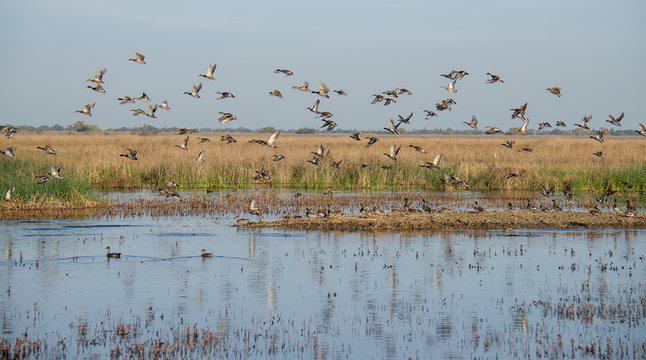 Mixed flock of ducks flying over wetlands