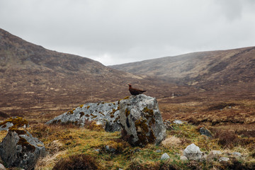 A grouse in Rannoch Moor, Scottish Highlands