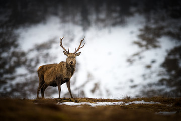 Red deer stag in the snow, Scottish Highlands, Scotland, United Kingdom, Europe
