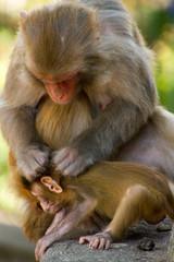 Monkeys of the Swayambhunath Monkey Temple, Kathmandu, Nepal, Asia