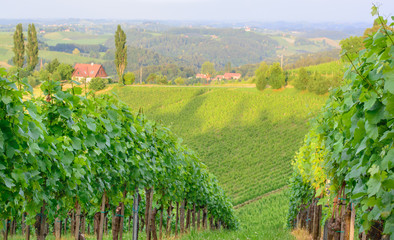 View of a vineyard in Styria
