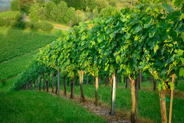 View of a vineyard in the summer
