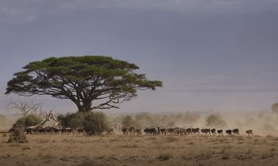 Cattle returning from drinking pond in Amboseli National Park, Kenya