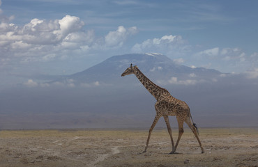 Giraffe under Mount Kilimanjaro in Amboseli National Park, Kenya, East Africa, Africa