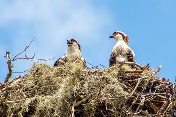 Osprey nest in Sarasota, FL