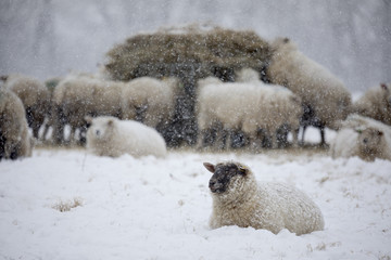 White sheep covered in snow lying down in snow and sheep eating hay, Burwash, East Sussex, England, United Kingdom, Europe