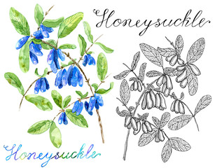 Colorful and monochrome drawings of honeysuckle berries isolated on white with lettering. Vintage nature concept, hand drawn botanical illustration with watercolor design elements