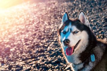 Portrait of Siberian husky with blue eyes. Beautiful husky dog sitting illuminated by the warm evening light setting sun.