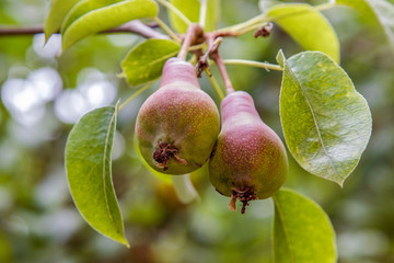 sweet pears ripening on a tree in the garden