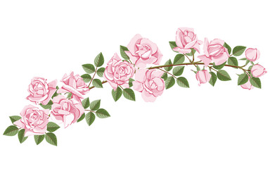 Horizontal branch of blooming pink roses on white isolated background.