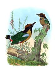 Pitta bird
